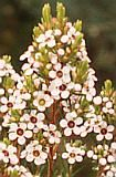 australian wildflower geraldton wax