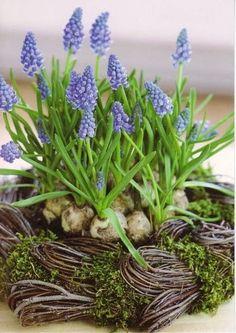 Grape Hyacinth: Mascari - Just Lovely!