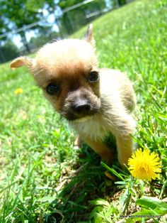 Chihuahua puppy with flower
