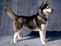 Cute&Cool Pets 4U: Brown Siberian huskies Pictures