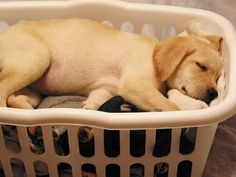 Yellow lab puppy asleep in laundry basket.