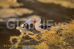 ALBATROSS, Black-browed - Diomedia melanophris. Black-browed albatross pair courtship billing. Photograph By Andrew   Henley #BirdsPhotography