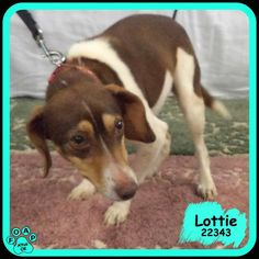 Lottie (F) - Adult Beagle mix In need of rescue or adopter.