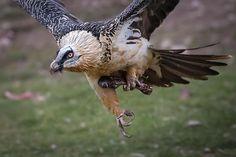 bearded vulture ©photojordicom