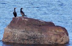 Birds on a rock..