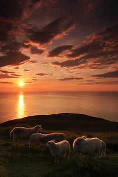 sun setting on the sheep