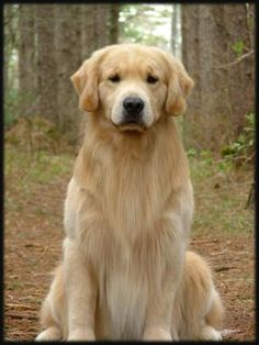 This is my dog Foster he is five years old, and he is a golden retriever. ~ WHAT A BEAUTY, YOU'RE VERY LUCKY TO HAVE HIM & VICE VERSA. WELL TAKEN CARE OF i CAN SEE ~