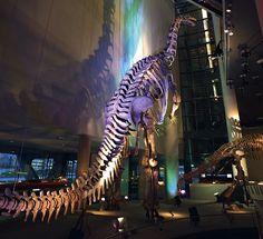 Our (18 Meter) Camarasaurus.,familiedagje Naturalis, 17 november 2013, indrukwekkend!