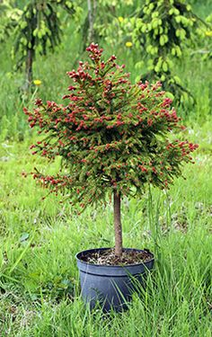 Picea Abies, Spruce Pine, Trees And Shrubs, Evergreen, Landscape, Flowers, Gardening, Beauty, Ideas