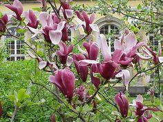 Image result for purple magnolia tree