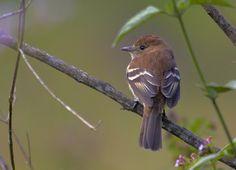 Bran-colored Flycatcher