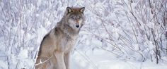 GRAY WOLFFLAGSTAFF, Ariz. (AP) — A female gray wolf from the Northern Rockies traveled hundreds of miles into northern Arizona, marking the species' first appearance in the region in more than 70 years and the farthest journey south, wildlife officials confirmed Friday.