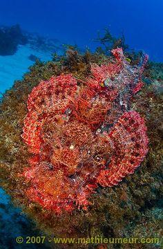 Red Scorpionfish, Scorpaena notate  -  Tamarin, Black River, Mauritius