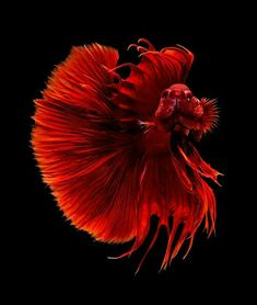 Summary: Betta Fish also known as Siamese fighting fish; Mekong basin in Southeast Asia is the home of Betta Fish and is considered to be one of the best aquarium fishes. Pretty Fish, Beautiful Fish, Beautiful Pictures, Aquascaping, Colorful Fish, Tropical Fish, Poisson Combatant, Beautiful Creatures, Animals Beautiful