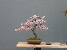 cherry blossom bonsai - Google Search