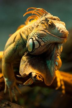 Lizard Species - Animal Facts and Information Les Reptiles, Reptiles And Amphibians, Mammals, Reptiles Preschool, Jungle Animals, Animals And Pets, Cute Animals, Alligators, Iguana Verde