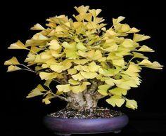 eugenia bonsai - - Yahoo Search Results