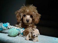 Should I shave it? - Poodle Forum - Standard Poodle, Toy Poodle, Miniature Poodle Forum ALL Poodle owners too!