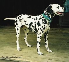 Dalmatian Dog Breed Pictures, 3
