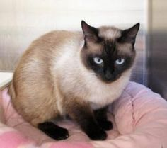 Elphie is an adoptable Applehead Siamese Cat in Cincinnati, OH. Adoption information can be found here .All cats and kittens have been vet-checked, spayed/neutered, and are up-to-date on vaccinations....