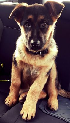 Bruno puppy German Shepherd