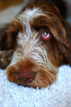 Ottawa Dog of the Week - Kevin the Italian Spinone