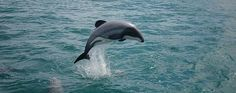 Maui's Dolphin, the world's smallest and rarest dolphin, found in New Zealand. Only 55 are believed to be living in the wild.