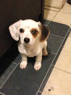 Beagle Husky Mix Google Search Pets To Own Beagle