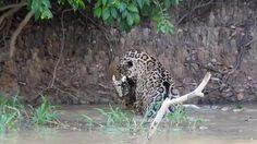 Adventure in Brazil: Jaguar Swimming and Eating a Caiman Pumas, Leopards, Jaguar, Dolphins, Giraffe, Brazil, Swimming, Adventure, Film