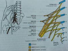 경골신경의 근육과 피부 분포,  비골신경의 근육과 피부 분포