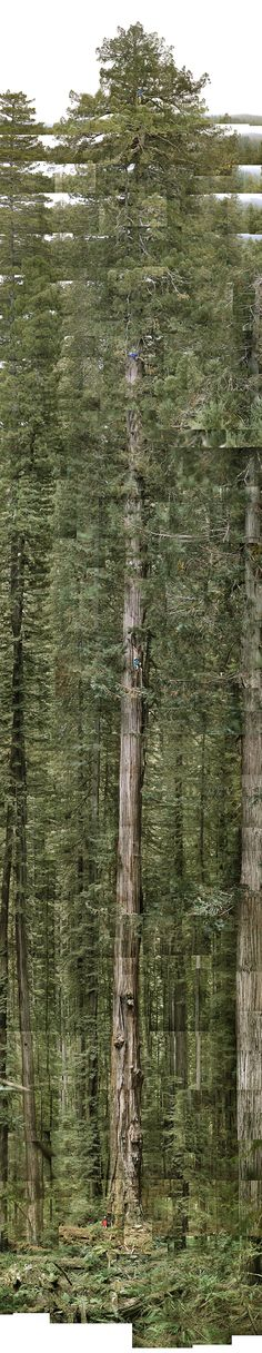 The Stratosphere Giant by James Balog via Robert Krulwich, npr: 369' high, roughtly wice the size of the Statue of Liberty (minus the foundation), the people who discovered it have never revealed its true location, which is somewhere in Humboldt Redwoods State Park. #Tree