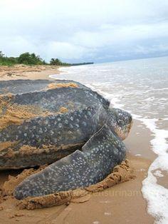Exotische Reizen Suriname - Reuzen zeeschildpad, net klaar met eieren leggen te Galibi, indianengebied.