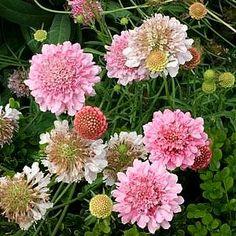 Scabiosa 'Getty Villa' - Pink Pincushion Flower