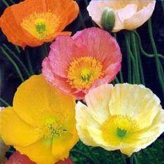 Sibirisk vallmo, bland de första som blommar o blommar sen glatt till frosten tar dem. Frösår sig gladeligen, särskillt i grusgångar.