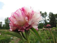 Peony 'Lord Cavin', a white and red peony. Brooks Gardens peony farm, Oregon.