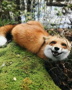 Just hangin' out in moss, doing fox things. Smiling and stuff. Juniper the Fox Nature Animals, Animals And Pets, Baby Animals, Funny Animals, Cute Animals, Wild Animals, Fuchs Baby, Fennec, Happy Fox
