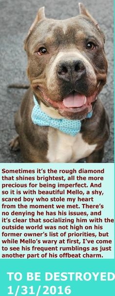 KILLED 1-31-2016  --- Manhattan Center  My name is MELLO. My Animal ID # is A1063614. I am a male gray and white pit bull mix. The shelter thinks I am about 4 YEARS old.  I came in the shelter as a STRAY on 01/26/2016 from NY 10451, owner surrender reason stated was STRAY. http://nycdogs.urgentpodr.org/mello-a1063614/