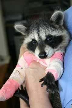 beastieandthebeasts:       This is Otter, an orphaned baby raccoon with two broken legs being cared for until she is healthy for release at...