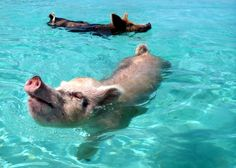 Swimming pigs of Big Major Cay in the Bahamas