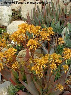 Aloe sp. www.plantesdusud.com