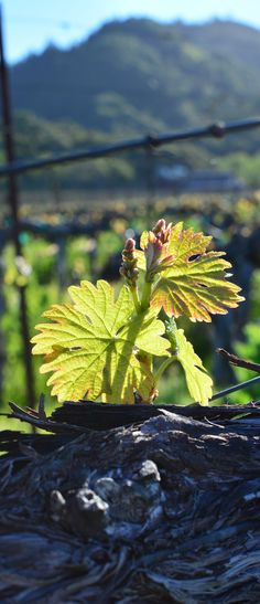 Rise and shine! Budbreak at Hafner Vineyard in Alexander Valley. Spring is here. Warm weather means the vines are waking up and starting to grow.