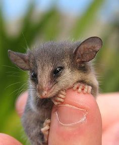 Okay I've pinned enough of this critter but I couldn't resist this one. A pygmy possum on a pygmy-looking finger! How much cuter can this get? Cute Baby Animals, Animals And Pets, Beautiful Creatures, Animals Beautiful, Opossum, Australian Animals, Cool Pets, Fur Babies, Animal Babies