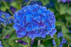 Deep Blue Hydrangea Bloom
