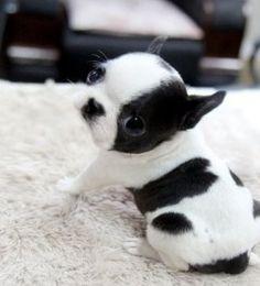 #bostonterrier #teacup #puppy #blackandwhite