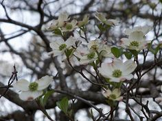 The Dogwoods of Spring