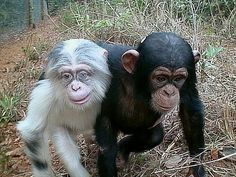 albino Chimpanzee..one of the cutest things if ever seen lol