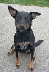 Sara is an adoptable Shepherd Dog in Kenton, OH. This is Sara. She came in with Shiloh. She is a young Shepherd mix. She also knows how to sit for a treat and is well mannered. She is ready for her fo...