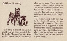Brussels Griffon - Vintage Dog Print - 1954 M. Dennis I will own one of these dogs one day!