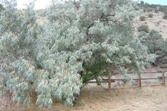 11 best russian olive tree images russian olive tree gardens shrubs for Come on down to the olive garden