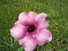 141121 Flor do cerrado brasileiro